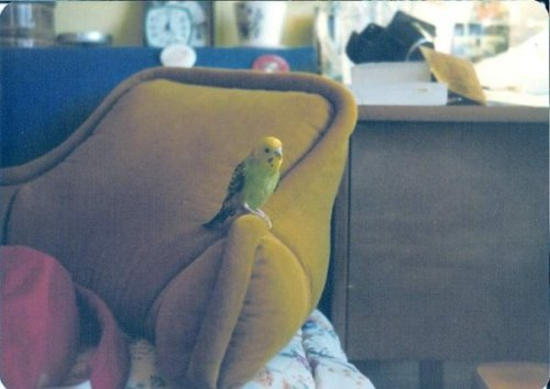 krollie bird